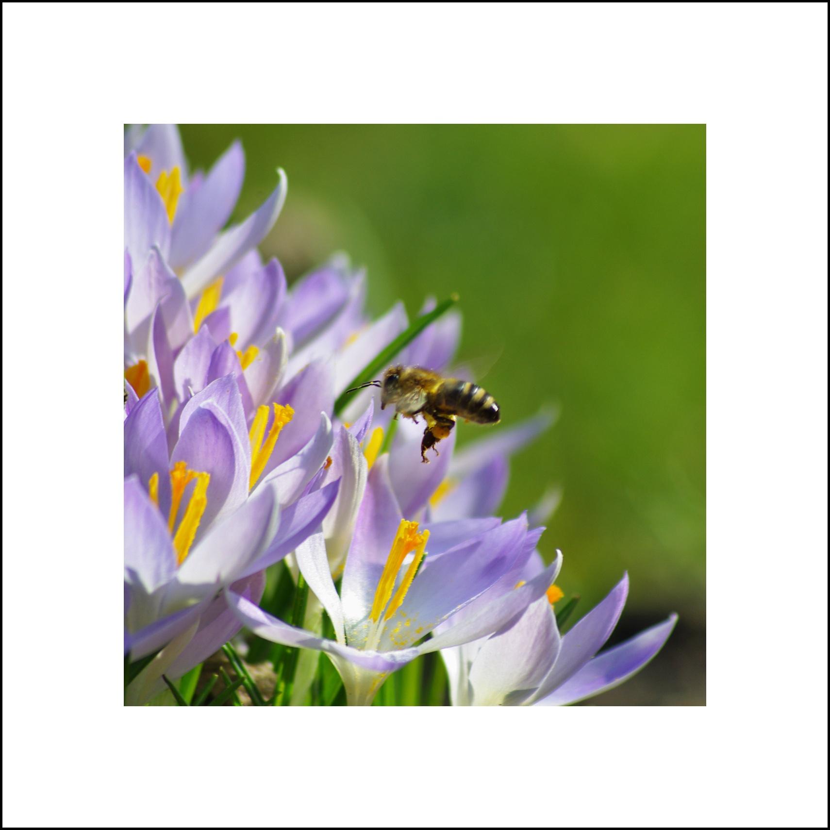 10. Krokusy a včela