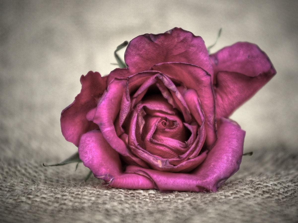 10. Růže