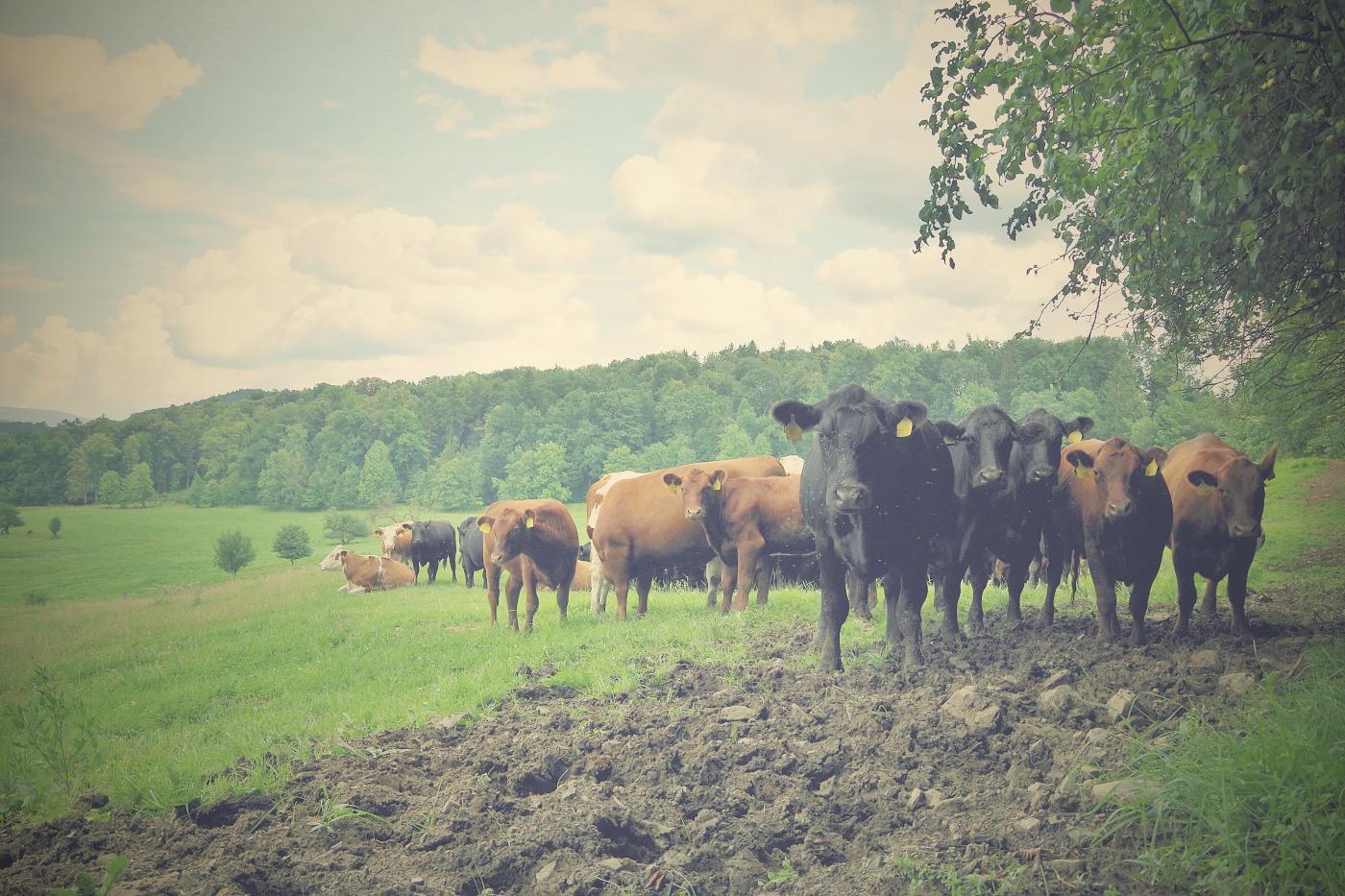 12. Krávy