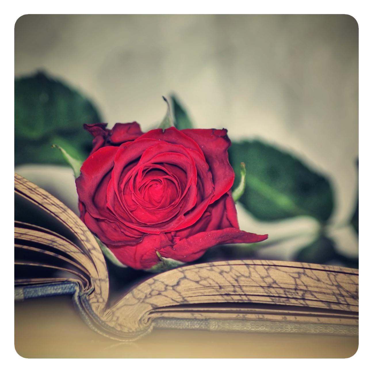 14. Růže