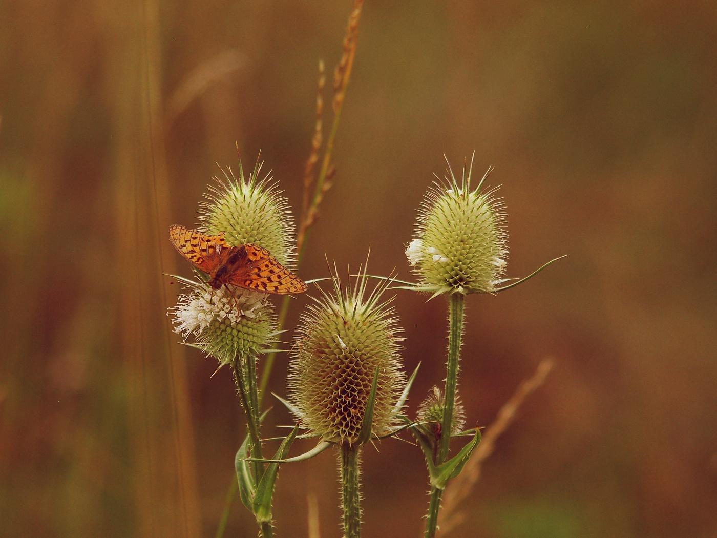 17. Motýl