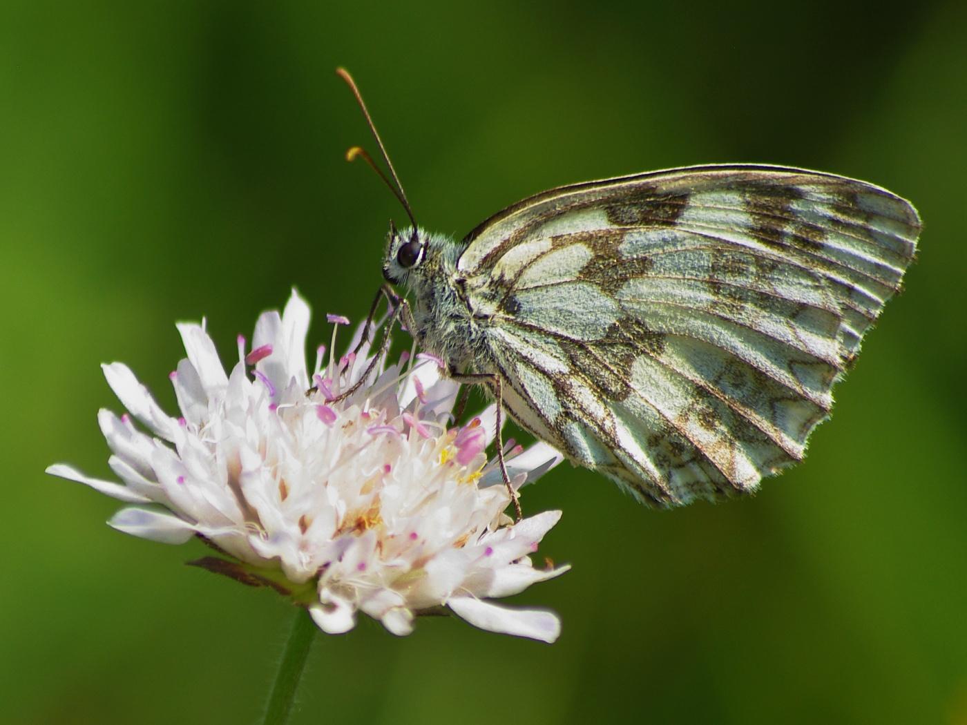 21. Motýl