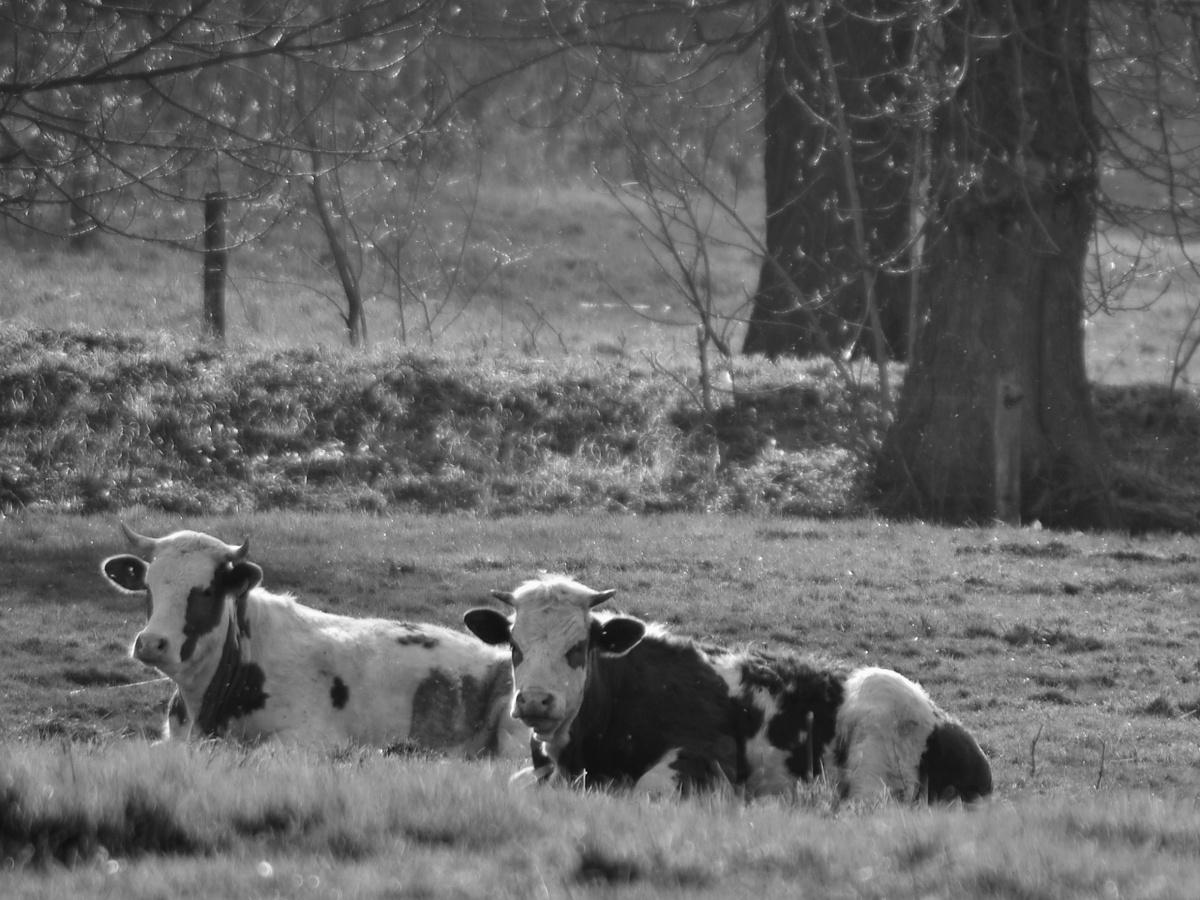 6. Krávy