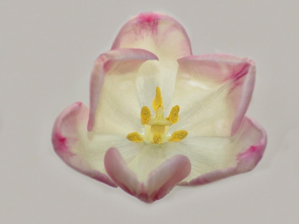 6. Tulipán